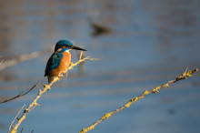 Kingfisher over stream